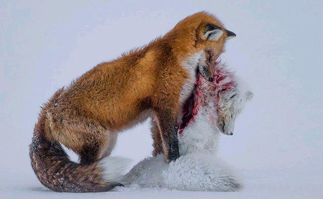 全球变暖使得生活在加拿大苔原上的红狐被迫向北迁移,结果导致它们和